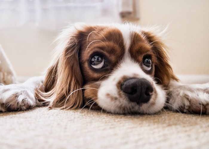 dog laying head on carpet after peeing
